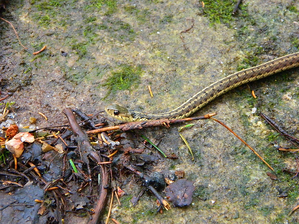 Donna almost stepped on this little eastern garter snake.